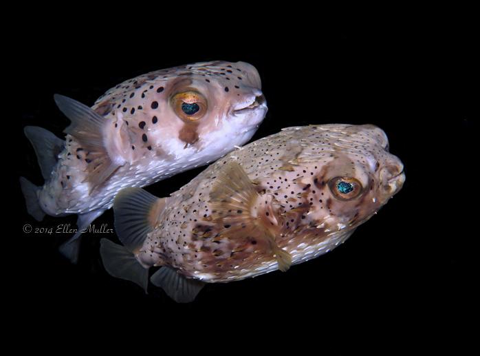 Mating Balloonfish