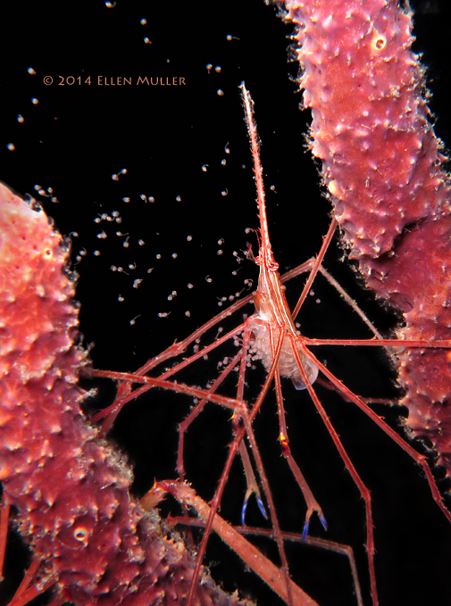 Arrow Crab Spawning