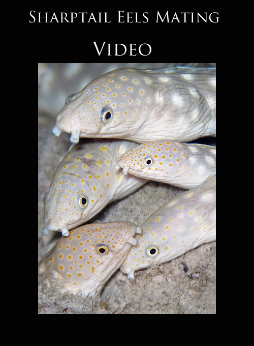 VIDEO- Sharptail Eels Mating