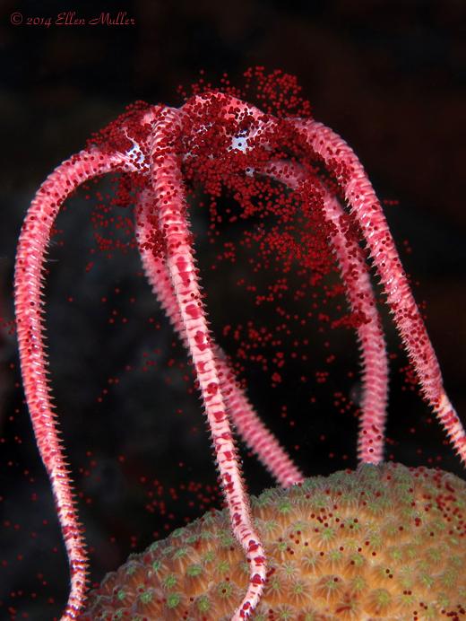 Spawning Brittle Star