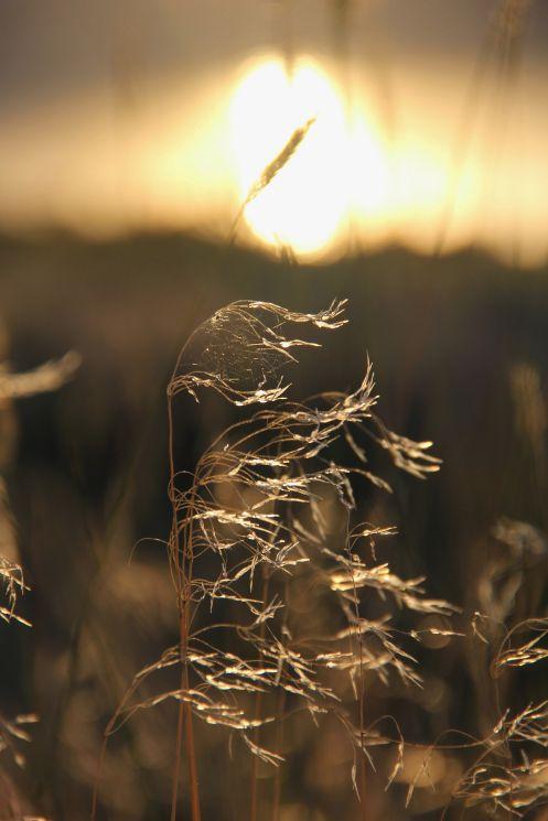 Sun Grass