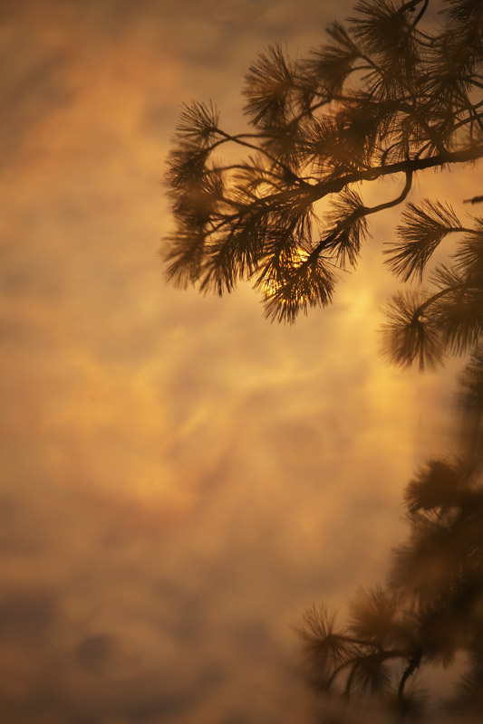 Pine tree & the sun