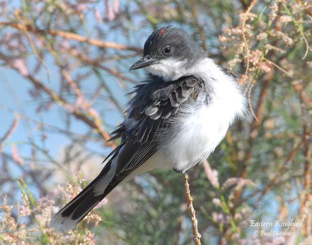 Eastern Kingbird (with a blush)
