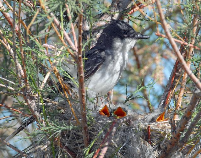 Kingbird, Eastern