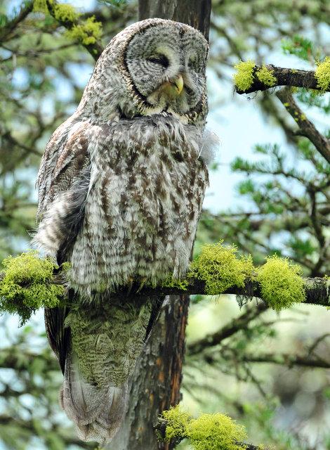 Owl, Great Gray