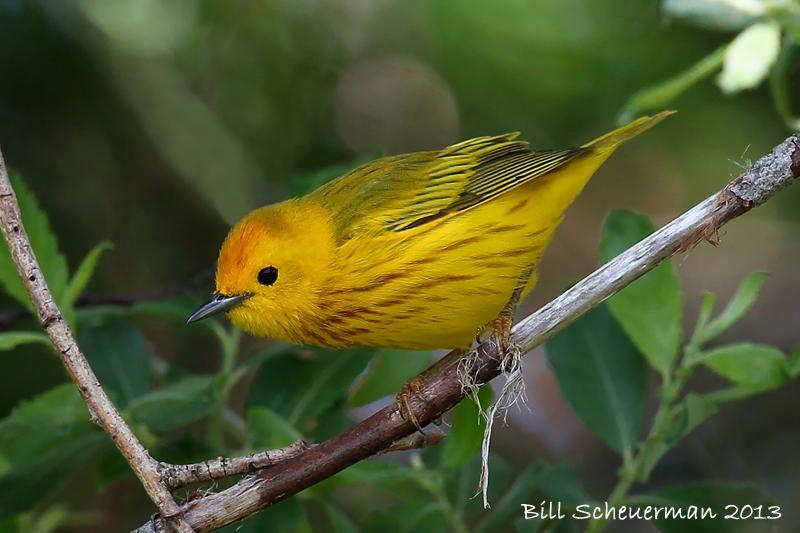 Yellow Warbler ♂