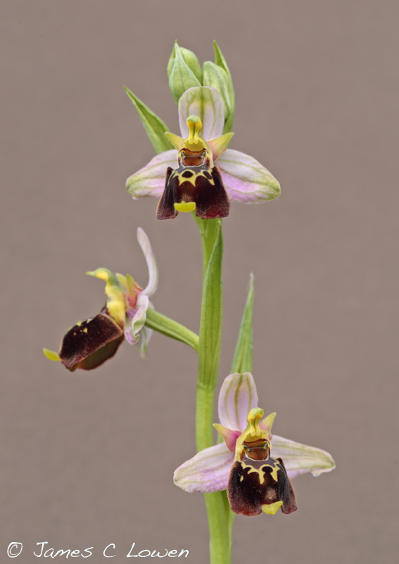Late Spider Orchid