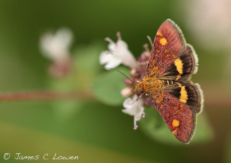 Mint Moth