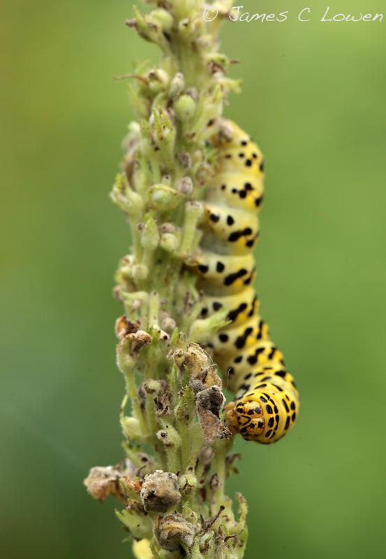 Striped Lychnis caterpillar