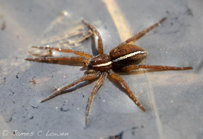 *NEW* Fen Raft Spider
