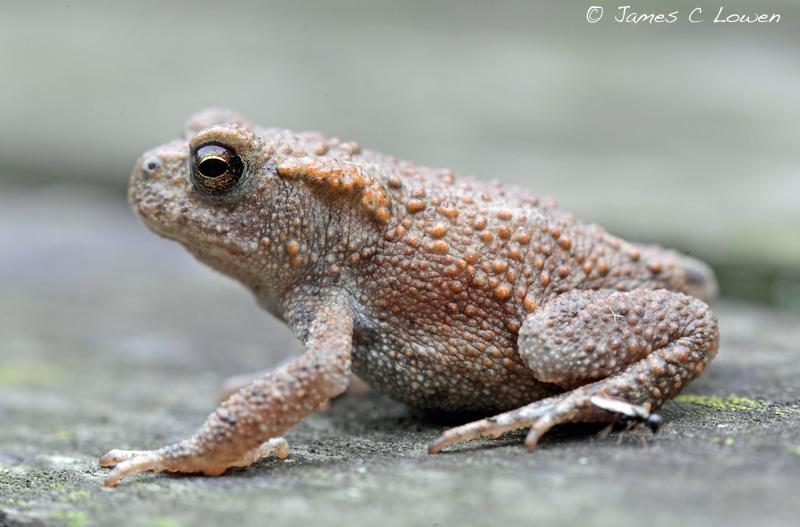 Common Toadlet
