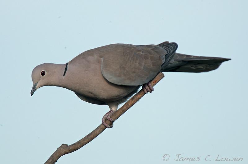 *NEW* Collared Dove