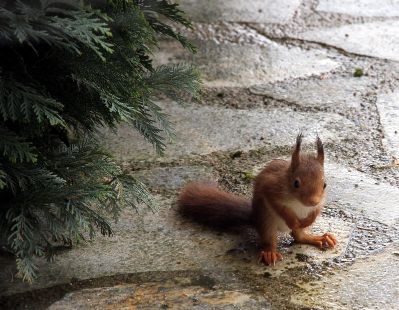 Update on baby red squirrel.
