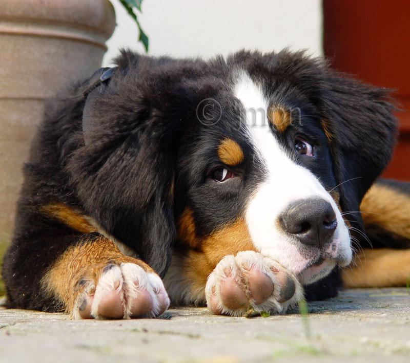 Bernese Mountain Dog - Bouvier bernois