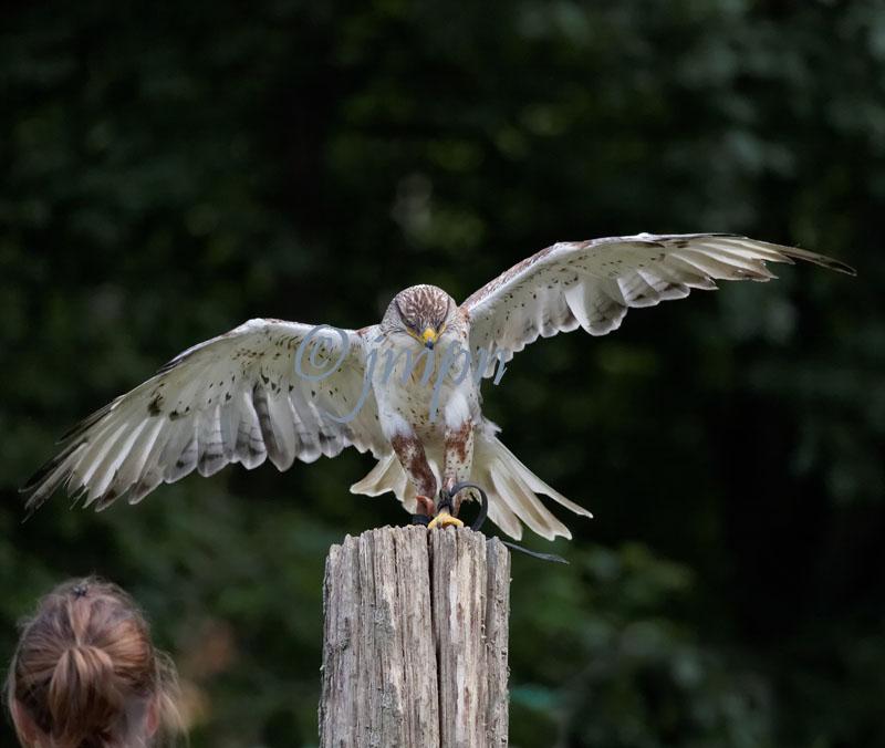 Buteo regalis -Buse rouilleuse - Ferruginous Hawk