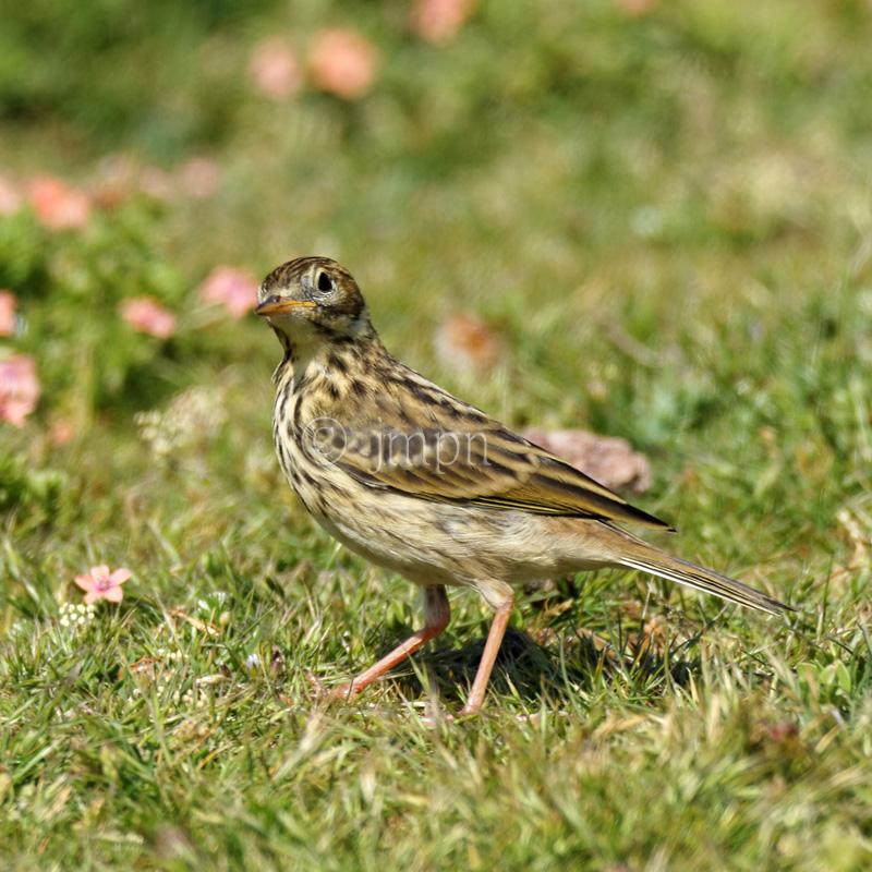 Anthus pratensis - Pipit farlouse - Meadow pipit