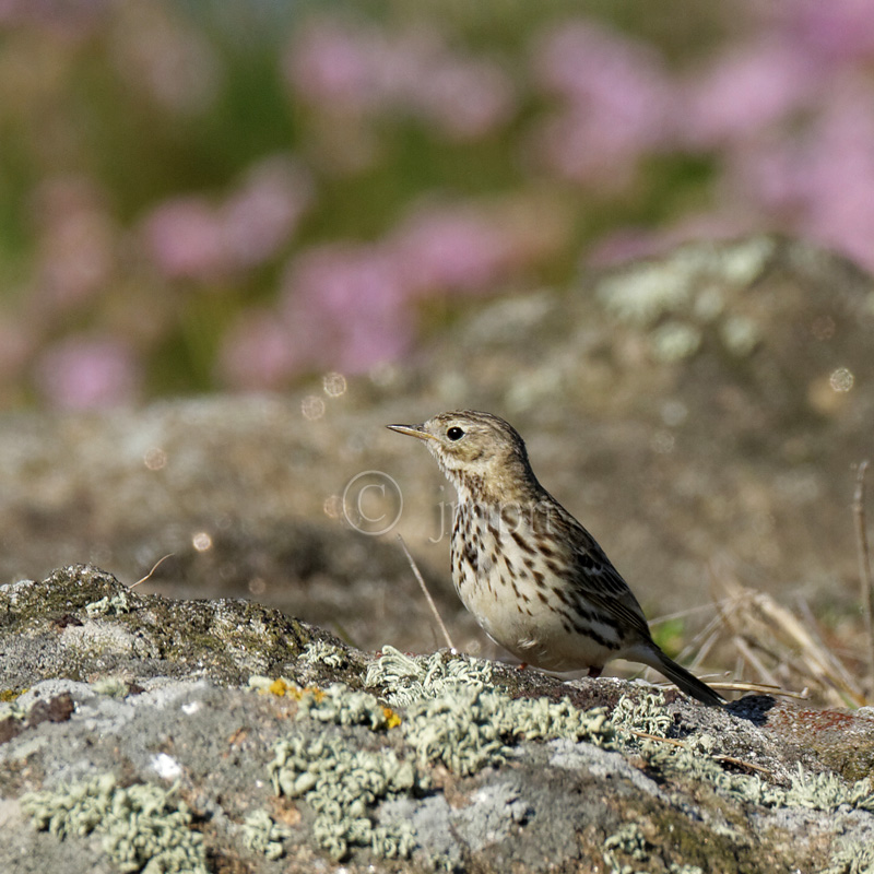 Anthus pratensis - Pipit farlouse - Meadow pipit