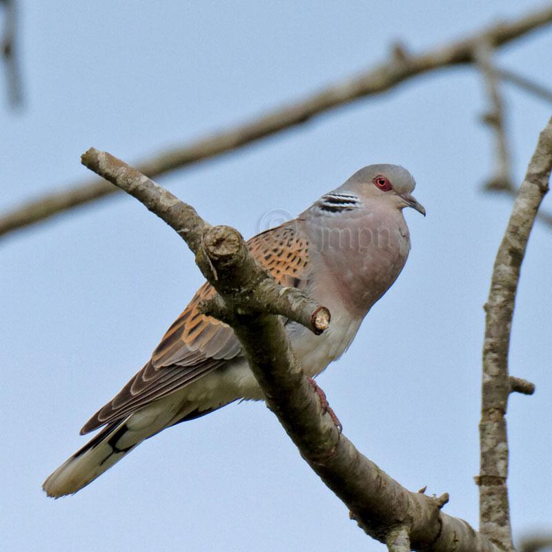 Streptopelia turtur - Tourterelle des bois - Turtle Dove