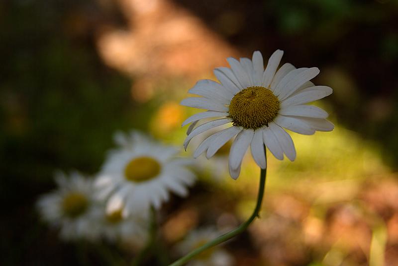 Daisy Finale