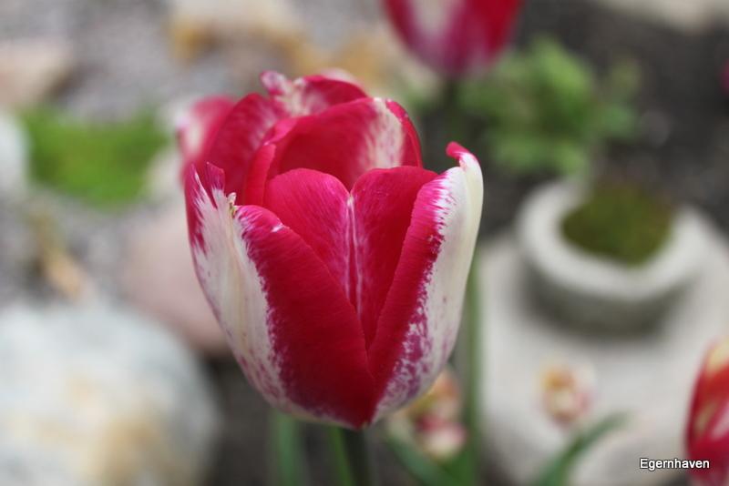 Tulipa Hotpants