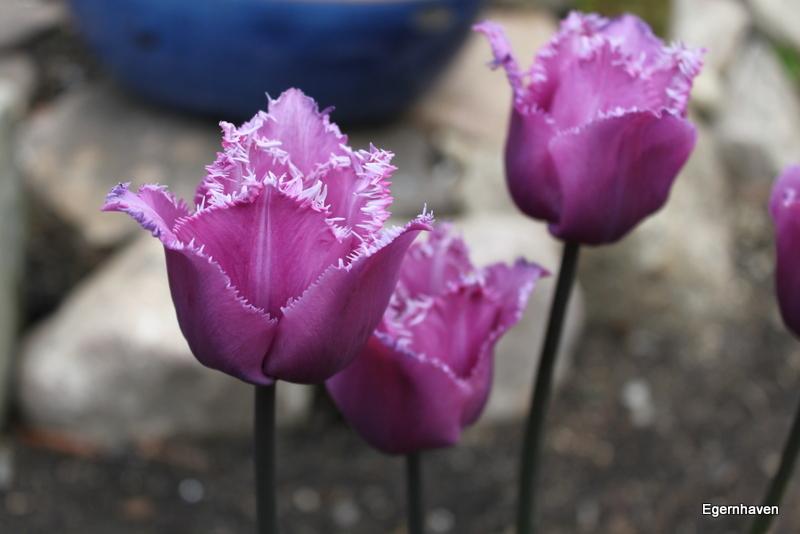 Tulipa Blue Heroon