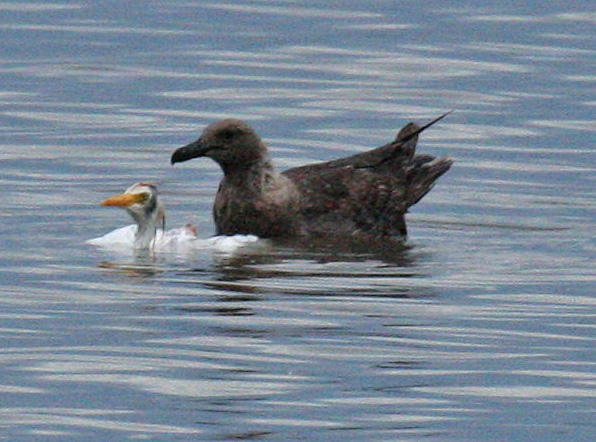 skua on Cattle Egret