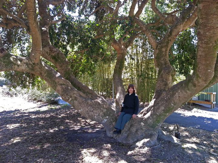 Judy On A Picturesque Lordu0027s Holly (Ilex Rotunda) Tree At The Coastal  Georgia Botanical Gardens   Savannah