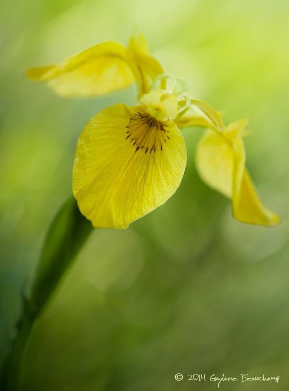 Iris faux-acore... LIris des marais