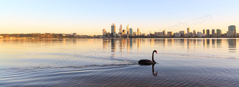 Black Swan on the Swan River at Sunrise, 6th September 2013