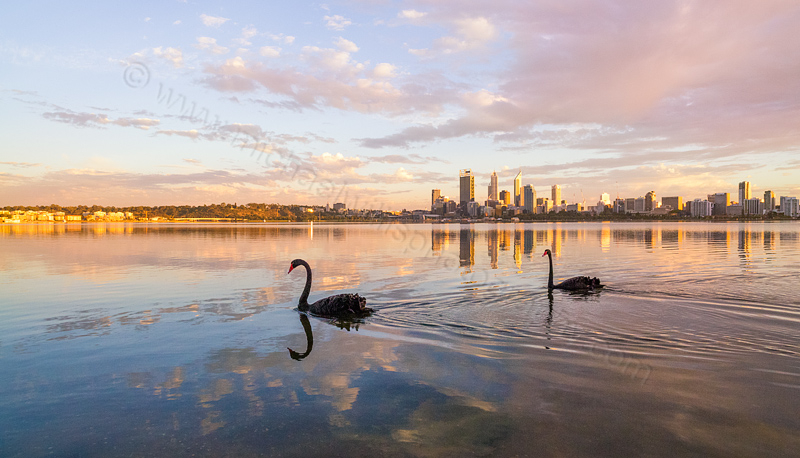 Black Swans on the Swan River at Sunrise, 5th April 2014