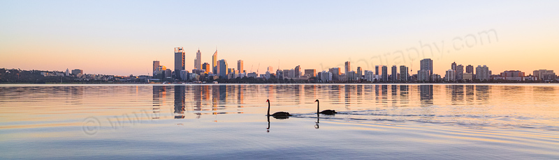 Black Swan on the Swans River at Sunrise, 19th April 2014