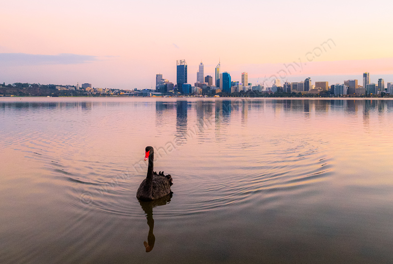 Black Swan on the Swans River at Sunrise, 26th April 2014
