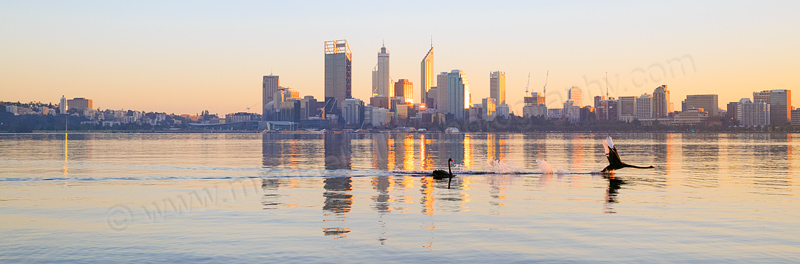 Black Swans on the Swan River at Sunrise, 23rd June 2014