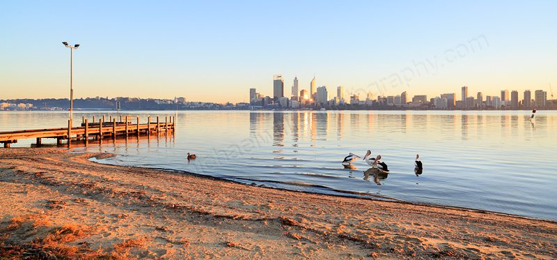 Pelicans by the Swan River at Sunrise, 25th June 2014