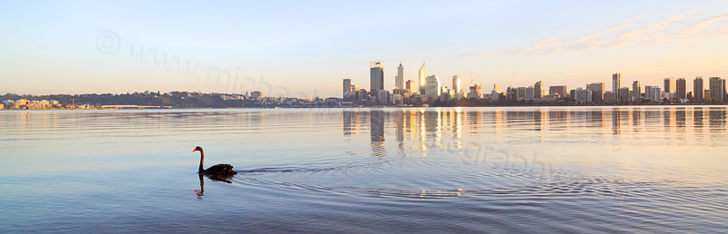 Black Swan on the Swan River at Sunrise, 17th July 2014