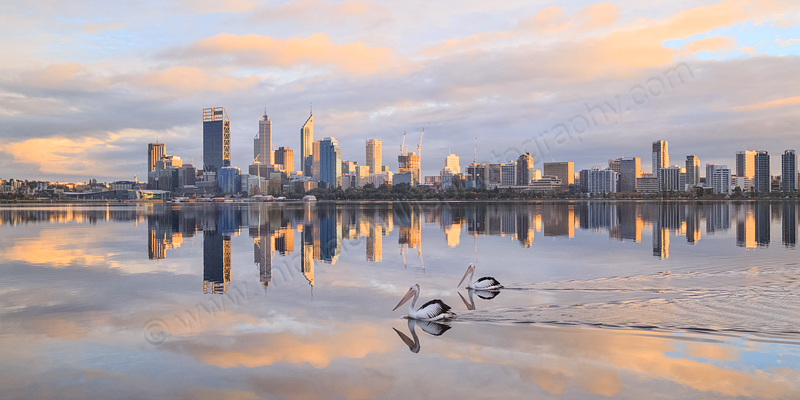 Pelicans on the the Swan River at Sunrise, 31st August 2014