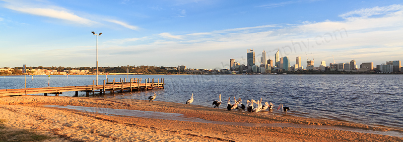 Pelicans by the the Swan River at Sunrise, 1st September 2014