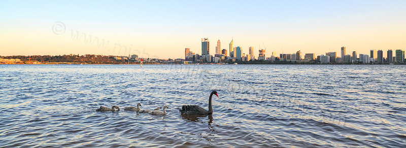 Black Swan and Cygnets on the Swan River at  Sunrise, 20th September 2014