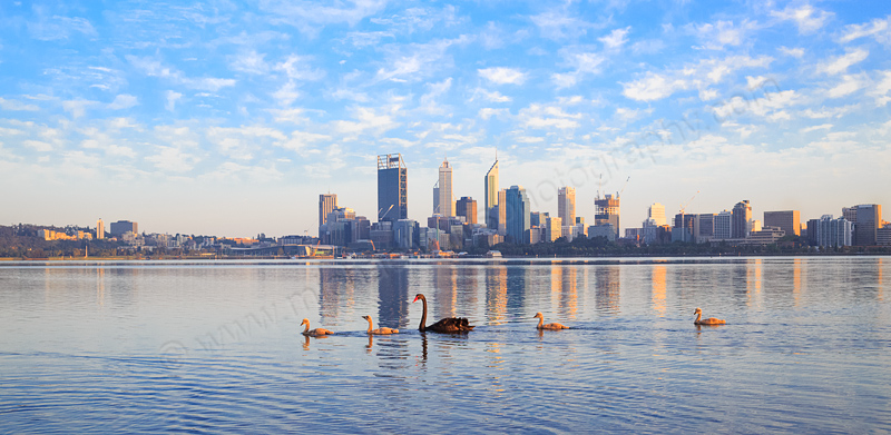 Black Swan and Cygnets on the Swan River at  Sunrise, 25th September 2014