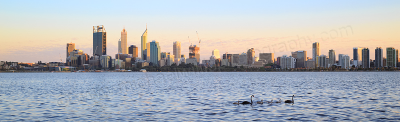 Black Swans and Cygnets on the Swan River at  Sunrise, 1st October 2014