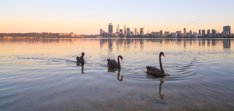 Black Swans on the Swan River at Sunrise, 5th November 2014