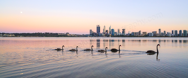 Black Swans and Cygnets on the Swan River at Sunrise, 8th November 2014