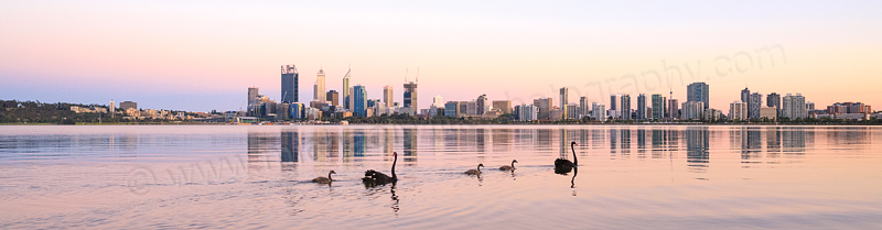 Black Swans and Cygnets on the Swan River at Sunrise, 4th December 2014