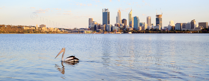 Pelican on the the Swan River at Sunrise, 8th February 2015