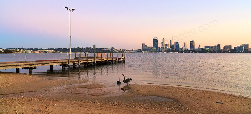 Black Swans beside the Swan River at Sunrise, 23rd April 2015