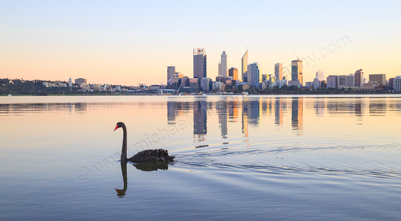 Black Swans on the Swan River at Sunrise, 14th June 2015