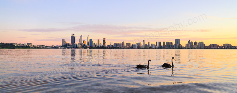Black Swans on the Swan River at Sunrise, 5th August 2015