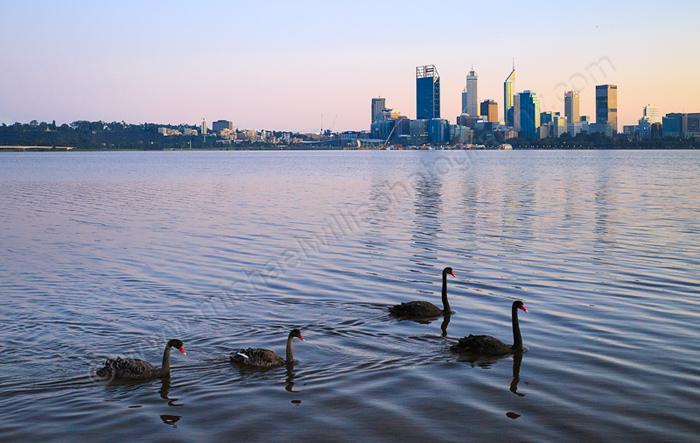 Black Swan on the Swan River at Sunrise, 22nd August 2015