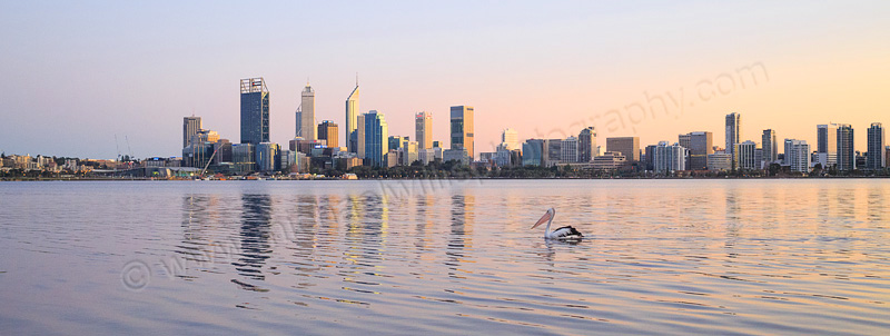 Pelican on the Swan River at Sunrise, 3rd September 2015
