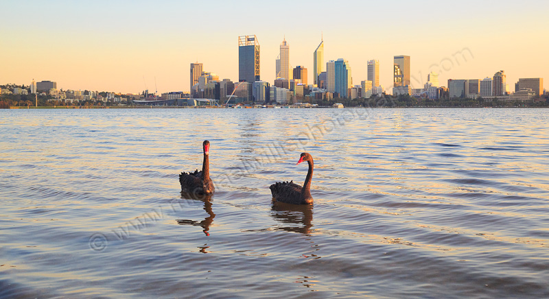 Black Swans on the Swan River at Sunrise, 4th September 2015